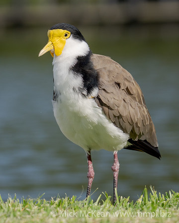 _7R45836 - Masked Lapwing (Vanellus miles) standing at the edge of a lake.