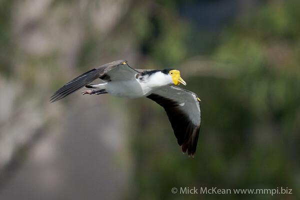 _7R45802 - Masked Lapwing (Vanellus miles) in flight.