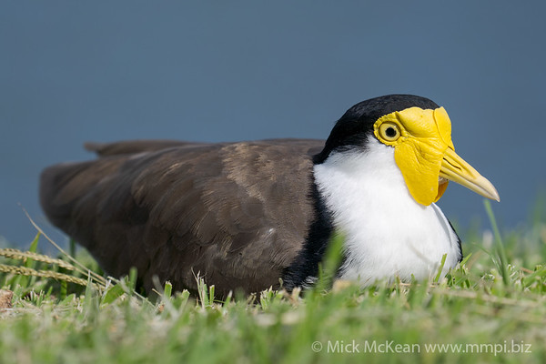 _7R45888 - Masked Lapwing (Vanellus miles) sitting on a lawn at the edge of a lake.