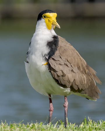 _7R45832 - Masked Lapwing (Vanellus miles) standing at the edge of a lake.