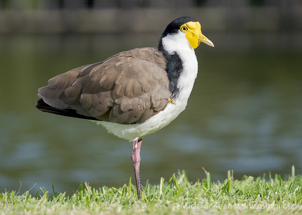 _7R45851 - Masked Lapwing (Vanellus miles) standing at the edge of a lake.