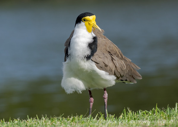 _7R45822 - Masked Lapwing (Vanellus miles) standing at the edge of a lake.