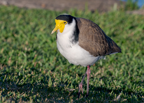 MMPI_20200603_MMPI0064_0007 - Masked Lapwing (Vanellus miles) staning on a lawn.
