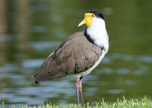 _7R45817 - Masked Lapwing (Vanellus miles) standing at the edge of a lake.