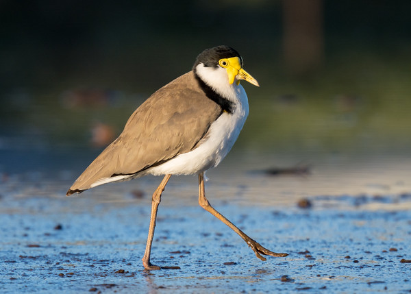 MMPI_20200823_MMPI0064_0002 - Masked Lapwing (Vanellus miles) walking on a mudflat in morning golden light.