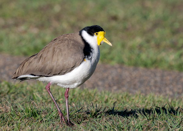 MMPI_20200805_MMPI0064_0001 - Masked Lapwing (Vanellus miles) standing on a lawn with one leg raised.