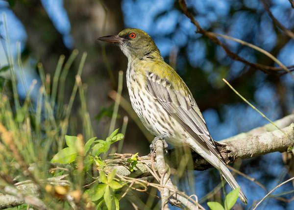 MMPI_20210402_MMPI0076_0007 - Olive-backed Oriole (Oriolus sagittatus) (female) perching in a Casuarina tree.