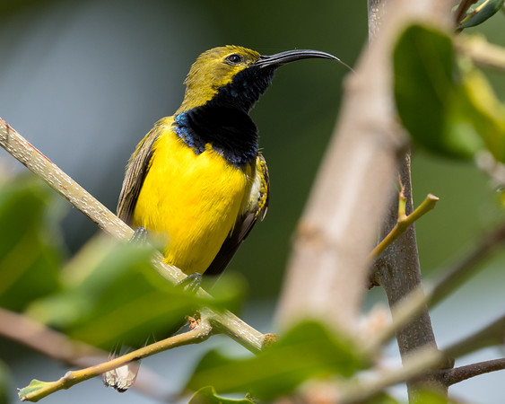 MMPI_20200912_MMPI0067_0015 - Olive-backed Sunbird (Cinnyris jugularis) (male) perching in a shrub.