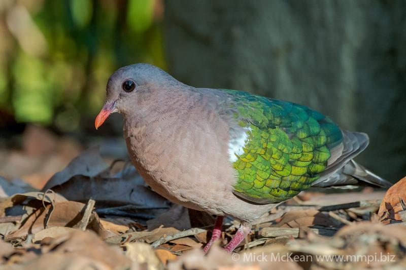 MMPI_20201204_MMPI0064_0020 - Pacific Emerald Dove (Chalcophaps longirostris) foraging for seeds amongst leaf litter.
