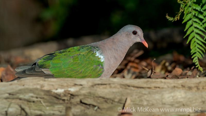 MMPI_20201204_MMPI0064_0018 - Pacific Emerald Dove (Chalcophaps longirostris) foraging for seeds amongst leaf litter.
