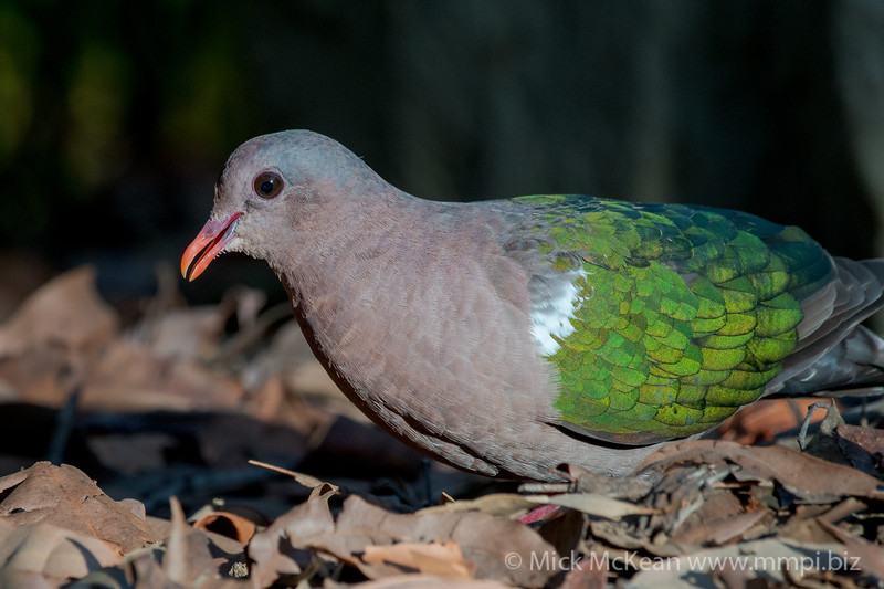 MMPI_20201204_MMPI0064_0023 - Pacific Emerald Dove (Chalcophaps longirostris) foraging for seeds amongst leaf litter.