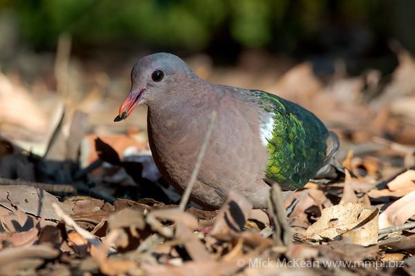 MMPI_20201204_MMPI0064_0025 - Pacific Emerald Dove (Chalcophaps longirostris) feeding on a seed amongst leaf litter.