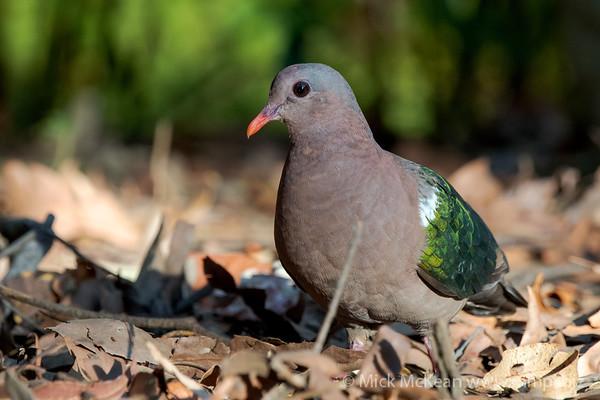 MMPI_20201204_MMPI0064_0024 - Pacific Emerald Dove (Chalcophaps longirostris) foraging for seeds amongst leaf litter.