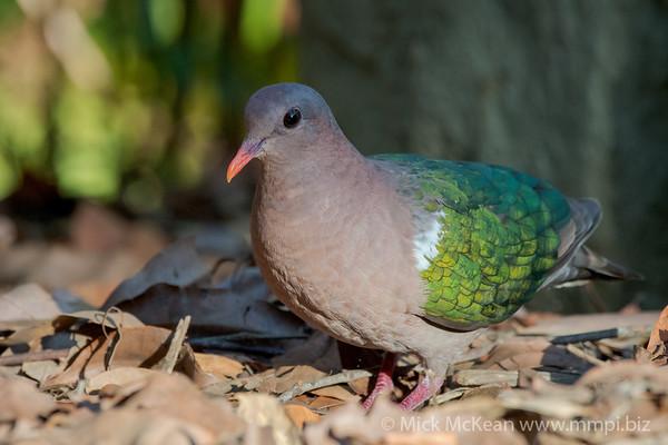 MMPI_20201204_MMPI0064_0019 - Pacific Emerald Dove (Chalcophaps longirostris) foraging for seeds amongst leaf litter.