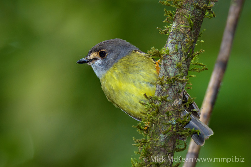 Pale-Yellow Robin Posing