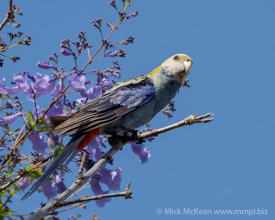 MMPI_20201002_MMPI0064_0022 - Pale-headed Rosella (Platycercus adscitus) peching in a Jacaranda tree.
