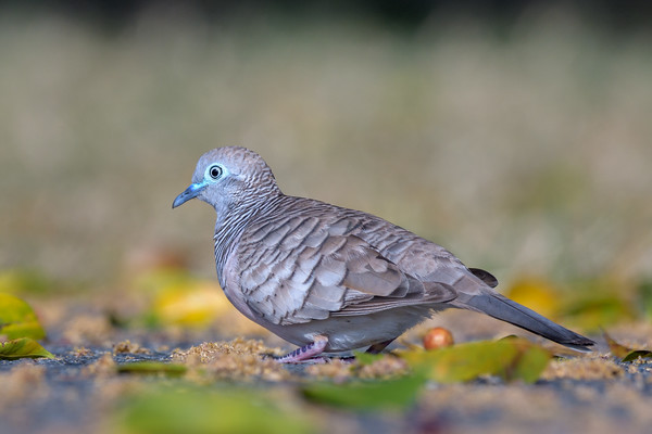 MMPI_20190830_MMPI0059_0035 - Peaceful Dove (Geopelia placida) .
