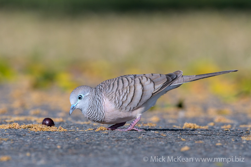 MMPI_20190830_MMPI0059_0025 - Peaceful Dove (Geopelia placida) .