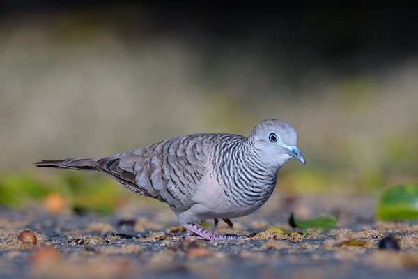MMPI_20190830_MMPI0059_0027 - Peaceful Dove (Geopelia placida) .