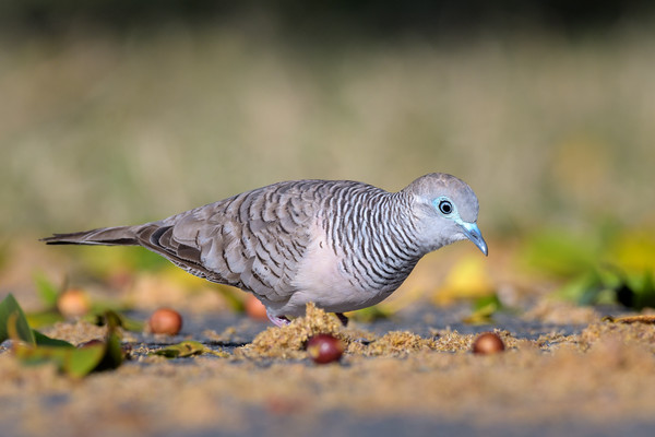 MMPI_20190830_MMPI0059_0023 - Peaceful Dove (Geopelia placida) .