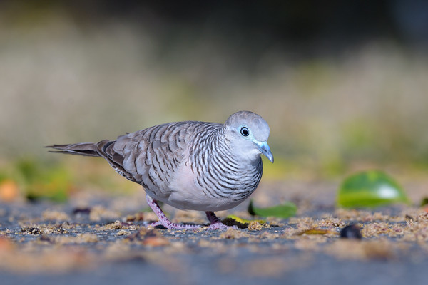 MMPI_20190830_MMPI0059_0028 - Peaceful Dove (Geopelia placida) .