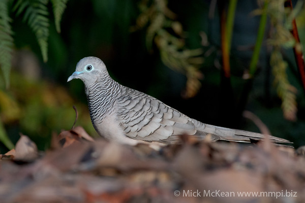 MMPI_20201204_MMPI0064_0027 - Peaceful Dove (Geopelia placida) searching for seeds amongst leaf litter.