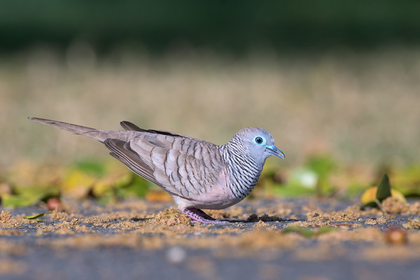 MMPI_20190830_MMPI0059_0022 - Peaceful Dove (Geopelia placida) .