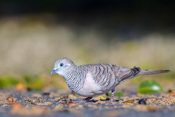 MMPI_20190830_MMPI0059_0029 - Peaceful Dove (Geopelia placida) .