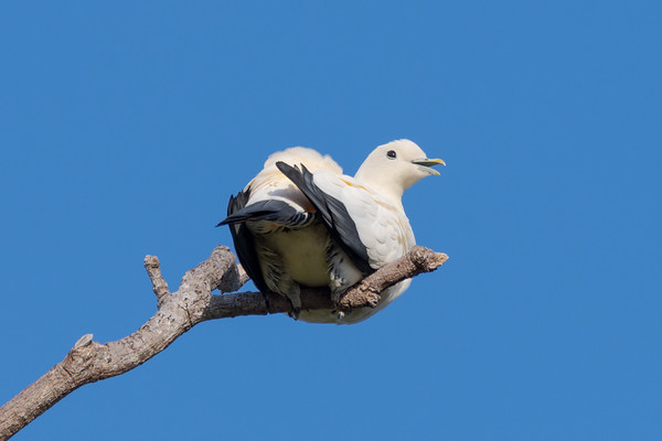 MMPI_20190830_MMPI0059_0074 - Pied Imperial Pigeon (Ducula bicolor) .