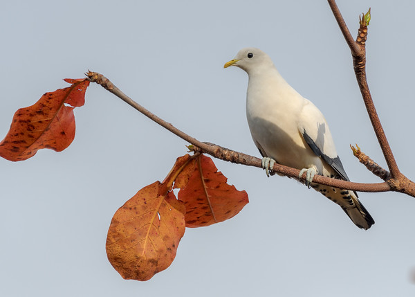 MMPI_20190830_MMPI0059_0003 - Pied Imperial Pigeon (Ducula bicolor) .