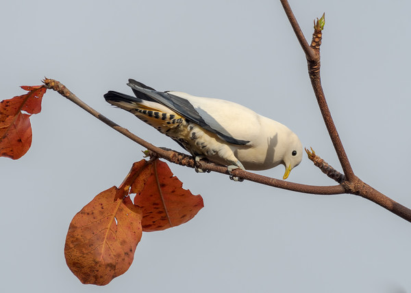 MMPI_20190830_MMPI0059_0002 - Pied Imperial Pigeon (Ducula bicolor) .