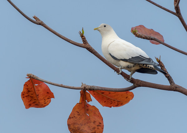 MMPI_20190830_MMPI0059_0001 - Pied Imperial Pigeon (Ducula bicolor) .