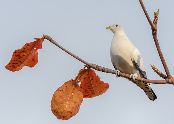 MMPI_20190830_MMPI0059_0004 - Pied Imperial Pigeon (Ducula bicolor) .