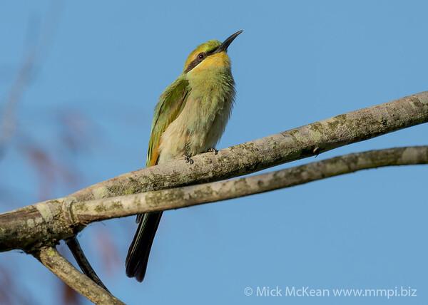 MMPI_20210130_MMPI0076_0001 - Rainbow Bee-eater (Merops ornatus) perching in a tree.