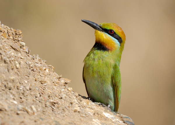 MMPI_20211004_MMPI0076_0010 - Rainbow Bee-eater (Merops ornatus) standing on a rocky bank. A group of these birds were nesting in the bank.