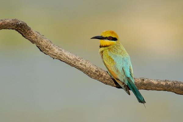MMPI_20201219_MMPI0064_0019 - Rainbow Bee-eater (Merops ornatus) perching on a branch.
