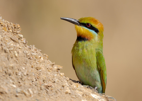 MMPI_20211004_MMPI0076_0009 - Rainbow Bee-eater (Merops ornatus) standing on a rocky bank. A group of these birds were nesting in the bank.