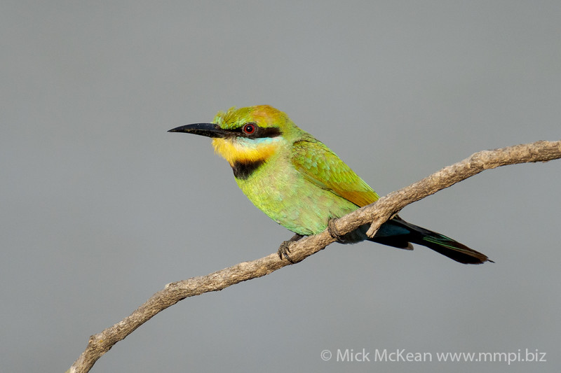 MMPI_20201219_MMPI0064_0017 - Rainbow Bee-eater (Merops ornatus) (immature) perching on a branch.