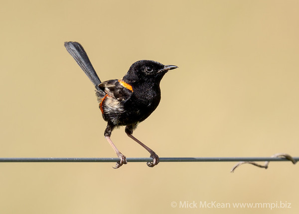 MMPI_20210130_MMPI0076_0012 - Red-backed Fairywren (Malurus melanocephalus) (male) perching on a fence wire. A grassy field provides a golden backdrop.