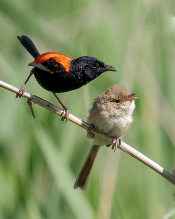 MMPI_20201227_MMPI0064_0015 - Red-backed Fairywren (Malurus melanocephalus) (male and female) perching on a grass stem. The male has just been preening the female.