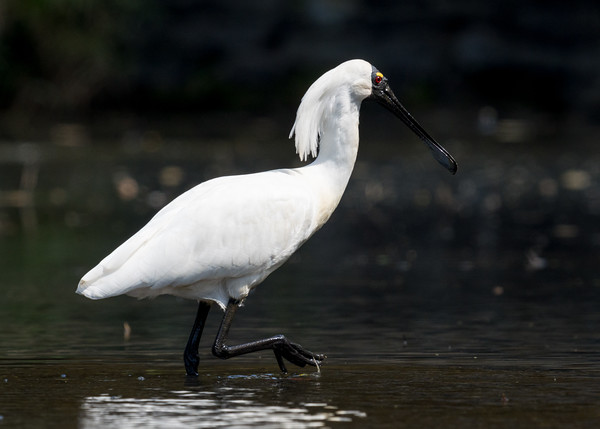 MMPI_20201115_MMPI0064_0027 - Royal Spoonbill (Platalea regia) wading in a pond.