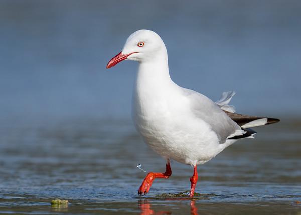 MMPI_20200909_MMPI0067_0024 - Silver Gull (Chroicocephalus novaehollandiae) wading in the ocean.