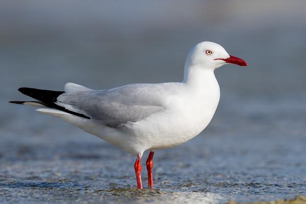 MMPI_20200909_MMPI0067_0022 - Silver Gull (Chroicocephalus novaehollandiae) standing in the ocean.