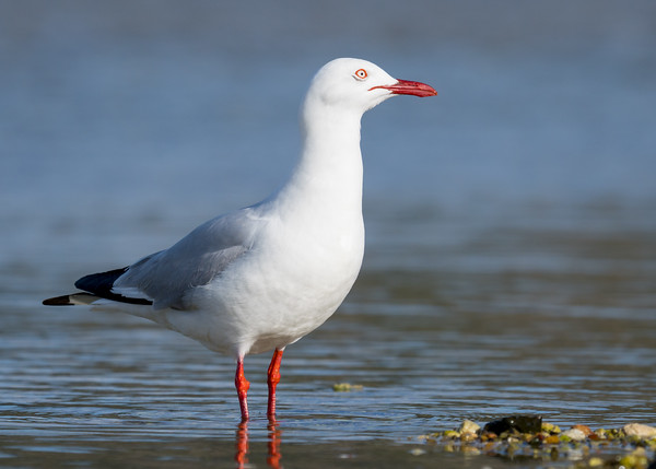 MMPI_20200909_MMPI0067_0025 - Silver Gull (Chroicocephalus novaehollandiae) standing in the ocean.