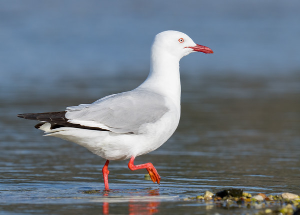 MMPI_20200909_MMPI0067_0026 - Silver Gull (Chroicocephalus novaehollandiae) wading in the ocean.