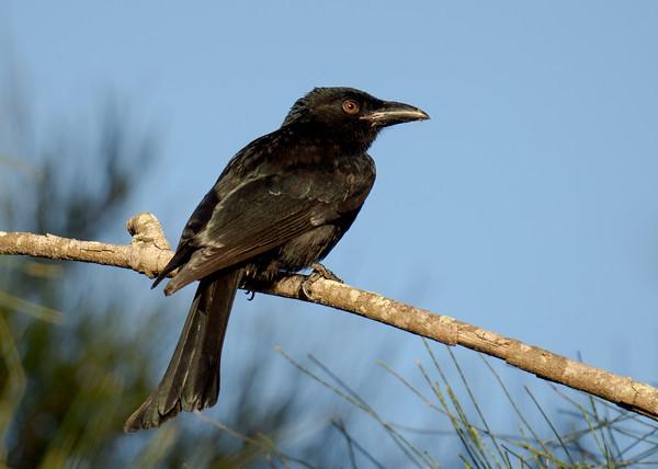 MMPI_20210410_MMPI0076_0009 - Spangled Drongo (Dicrurus bracteatus) perching on a tree branch.
