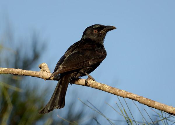 MMPI_20210410_MMPI0076_0008 - Spangled Drongo (Dicrurus bracteatus) perching on a tree branch.