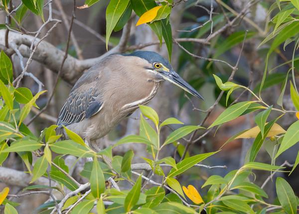MMPI_20190830_MMPI0059_0061 - Striated Heron (Butorides striata) .