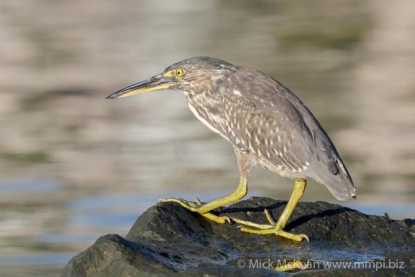 _7R45005 - Striated Heron (Butorides striata) standing on a rock beside a river.