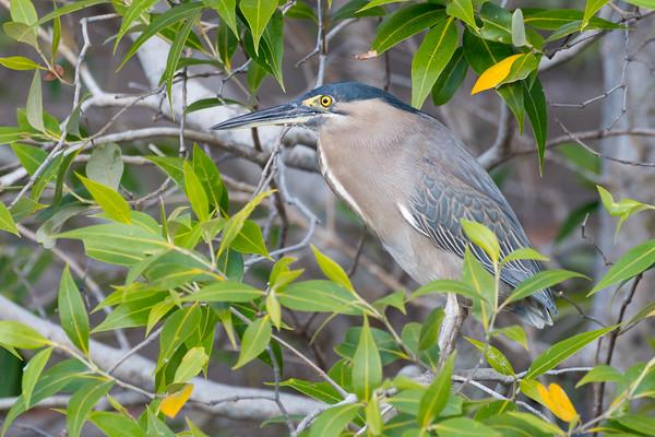 MMPI_20190830_MMPI0059_0069 - Striated Heron (Butorides striata) .